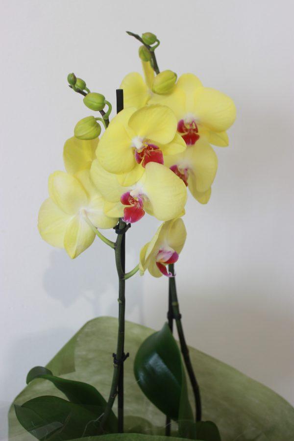 orquidea para regalo